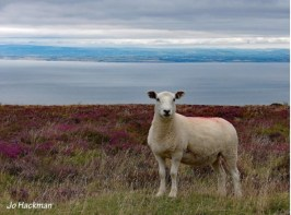 jo-hackman-sheep-on-porlock-hill