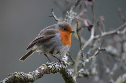 304-maurice-mo-birch-wouldnt-be-christmas-without-a-robin-found-this-friendly-little-fella-at-tarr-steps