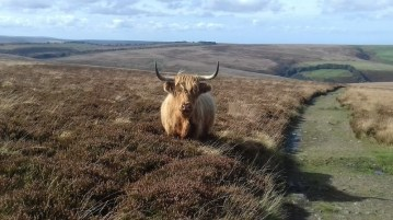 Highland Cattle Exmoor
