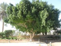 17. a tree in Jericho
