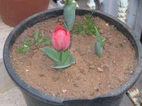 06. a tulip
