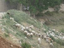 18. a young sheperd with sheeps
