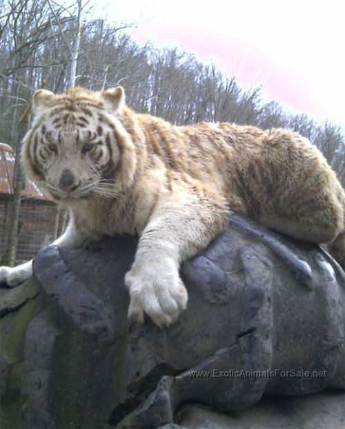 White Tiger For Sale : white, tiger, Tigers
