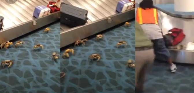 Moment Live Crab crawled out of a woman's bag at an international airport (video)