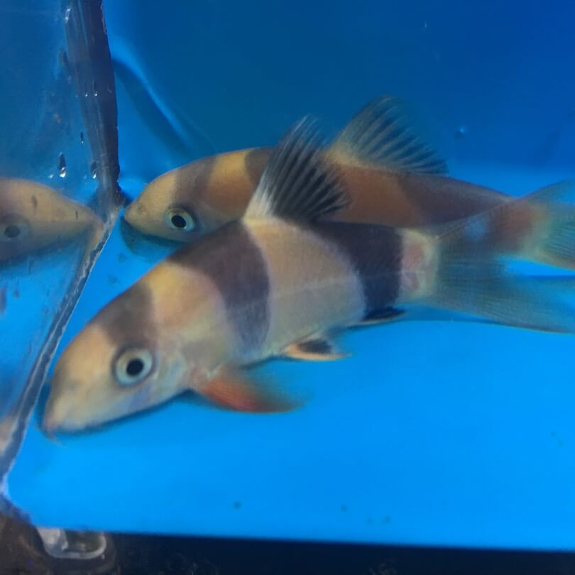 Clown loach for sale exotic fish shop 774 400 4598 for Exotic fish shop