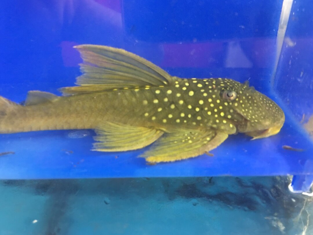 green phantom pleco l200 for sale exotic fish shop