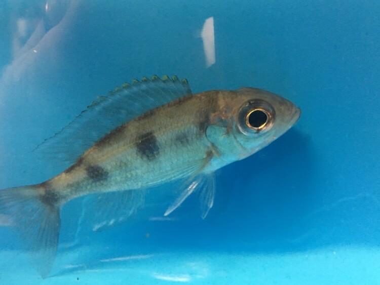 Aulonocranus dewindti cichlid for sale | Exotic Fish Shop