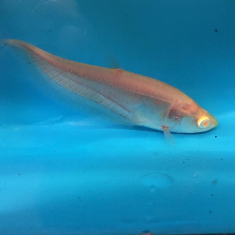 Albino Clown Knife For Sale Exotic Fish Shop 774 400 4598