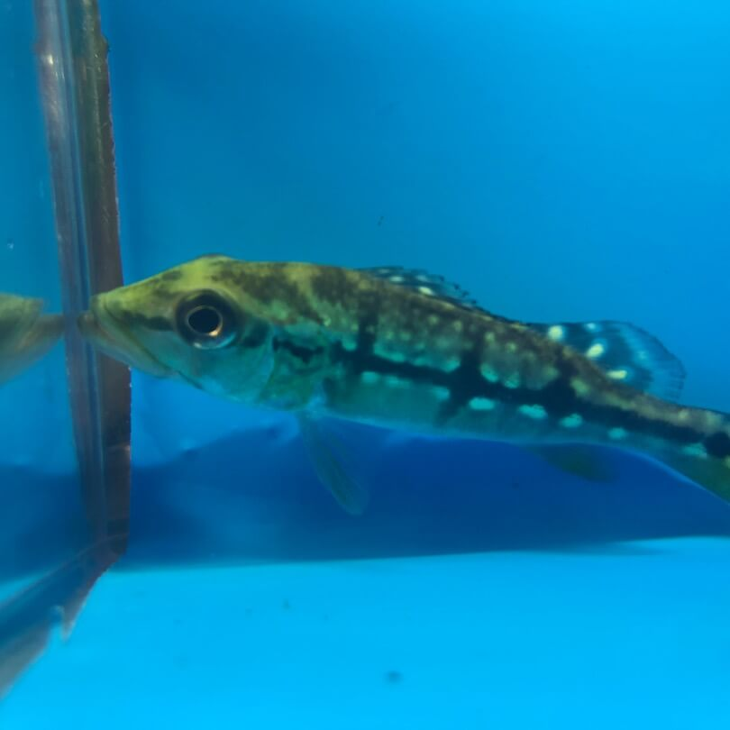 xingu peacock bass 4 for sale exotic fish shop 774 400 4598. Black Bedroom Furniture Sets. Home Design Ideas