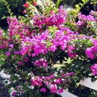 Flowers of Bequia_03