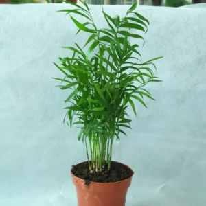 chamaedorea elegans exoticplantsouq.ae