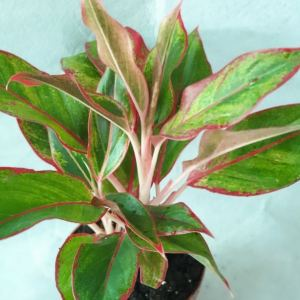 Aglaonema Red exoticplantsouq.ae