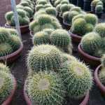 echinocactus exoticplantsouq.ae