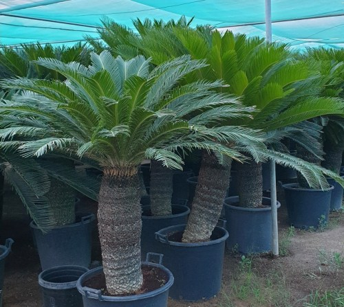 Cycus Sogo Palm