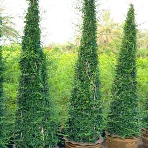 Ehretia Microphylla Shaped Plants