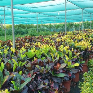 codiaeum variegatum Crotton