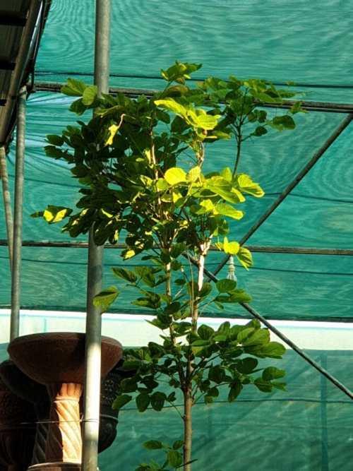 Bauhinia purpurea 2.8-3.20m