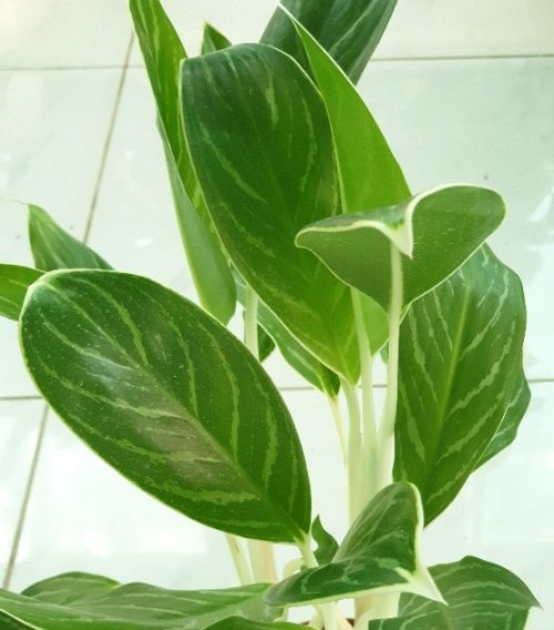 Aglaonema Indoor plant