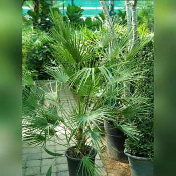 "Chamaerops humilis ""European Fan Palm"""