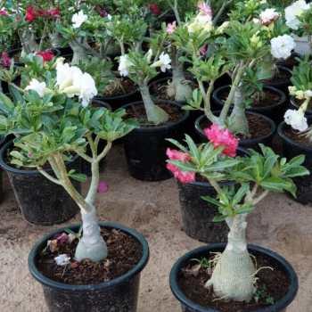 Desert Rose Double Flower