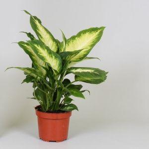 dieffenbachia-camilla exoticplantsouq.ae