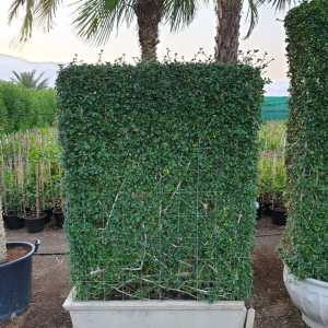 eritrea microphylla Buxus Wall Shaped Plant