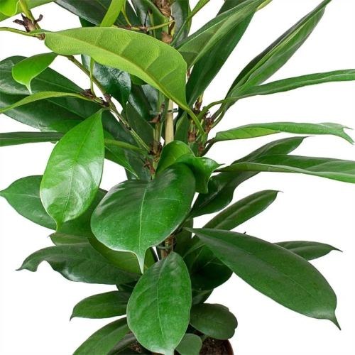 ficus cyathistipula indoor plants