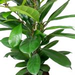 ficus cyathistipula indoor plants