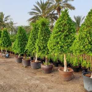 Ficus Nitida Lolipop