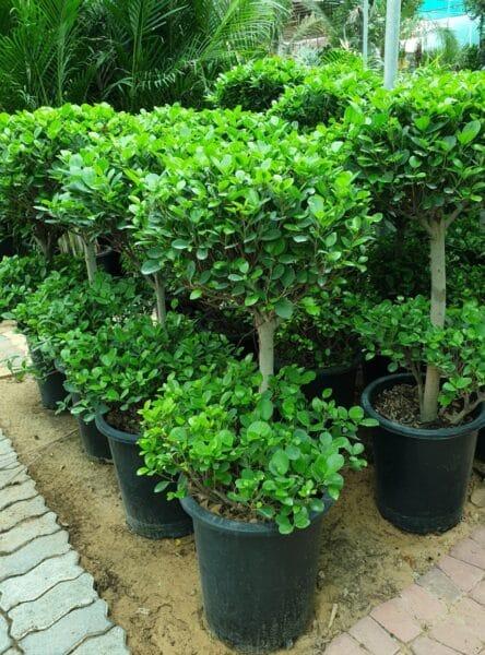 Ficus Panda 2 Head