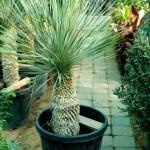 Yucca Rostrata 90-110cm exoticplantsouq.ae