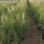 pennisetum grass
