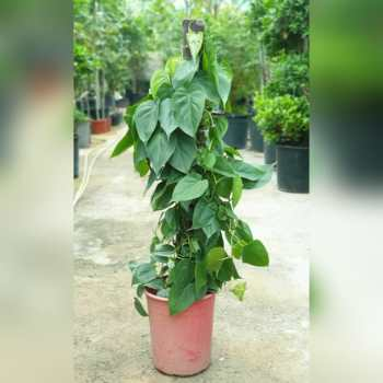 Philodendron Scandens 100-120cm