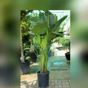 Strelitzia nicolai (Giant Bird of Paradise) 1.7 – 2m