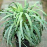 Yucca exoticplantsouq.ae