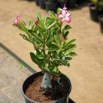 Desert Rose Adenium