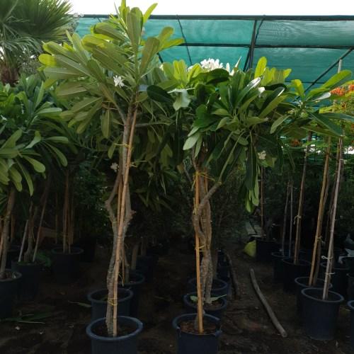 "Plumeria obtusa ""Frangipani"" (Mature Tree)"