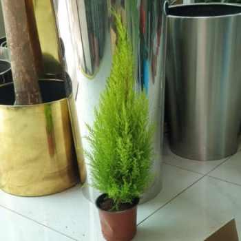 Cupressus Macrocarpa Goldcrest exoticplantsouq.ae