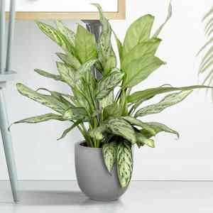 aglaonema-silver-queen
