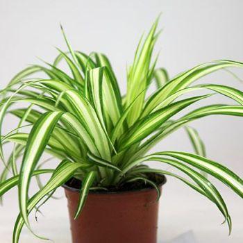 Chlorophytum comosum 'Variegatum' (Spider plant or Airplane plant)