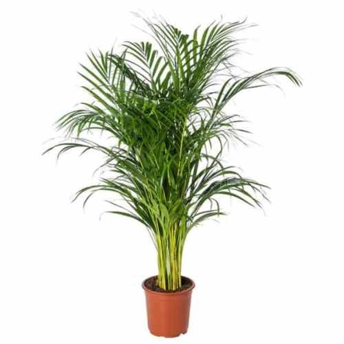 DYPSIS LUTESCENS - Potted plant, Areca palm21 cm