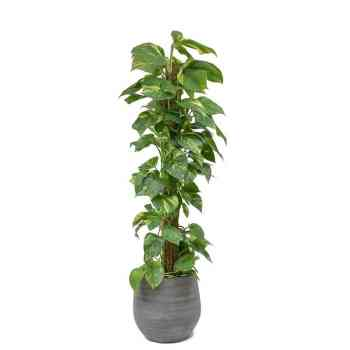 Epipremnum aureum - Money Plant