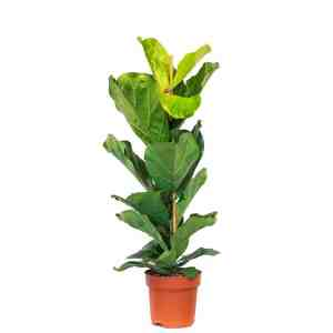 Ficus Lyrata - Fiddle Leaf Fig