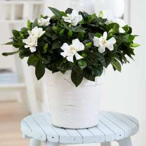 Gardenia jasminoides Indoor Plant