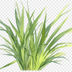 Lemon Grass or Cymbopogon citratus