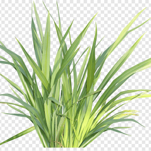 Lemon Grass or Cymbopogon citratus