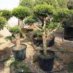 Olive – Olea Europea MultiHead Shaped plants