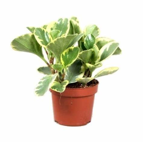 Peperomia obtusifolia, Baby Rubber Plant
