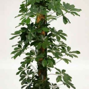Schefflera arboricola - 'Gold Capella'
