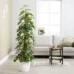 Schefflera Arboricola with Moss Stick